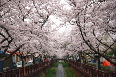 Cherry blossoms in Korea - Yeojwacheon, Jinhae