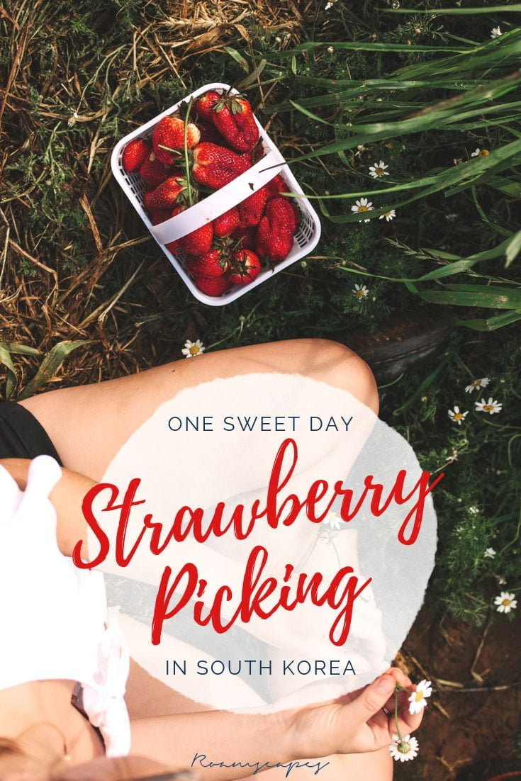 Discover the bucolic pleasures of #strawberry picking in an easy day trip from #Seoul. #experience