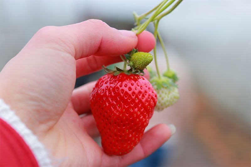 Strawberry picking-large ripe strawberry with smaller unripe berries.