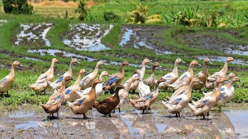 Facts about Bali: rice paddy ducks. Photo: kolibri5 / Pixabay