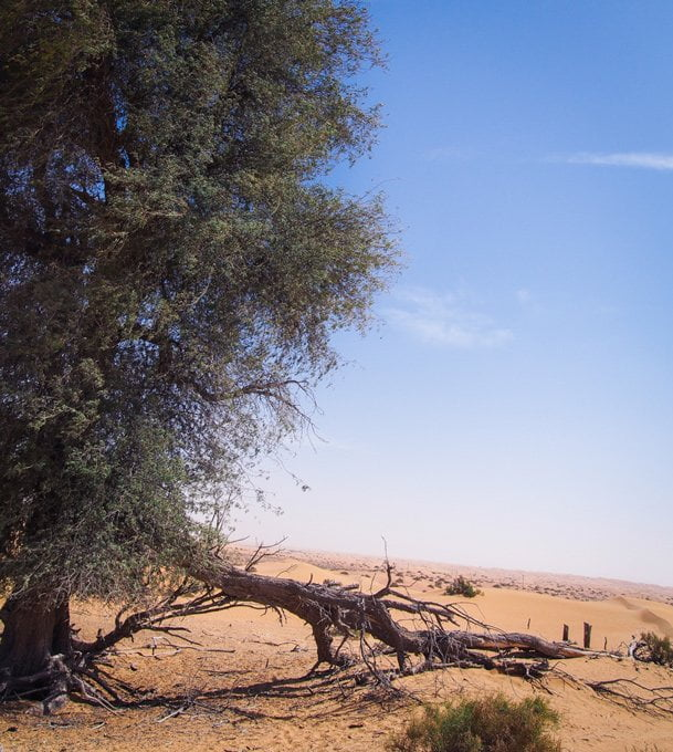Ghaf trees, with their deep roots, indicate the presence of water underground in the Arabian desert.