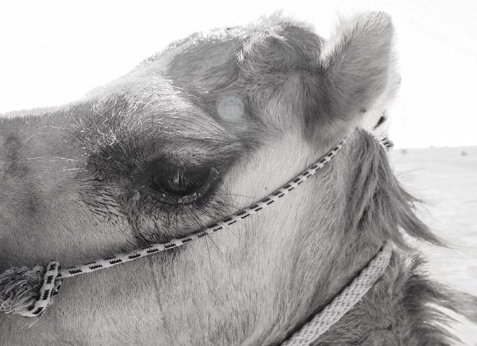 Long eyelashes of a camel