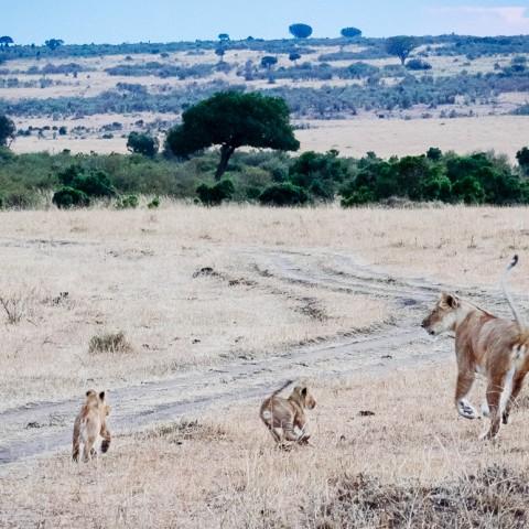 Safari in Kenya: Lioness with cubs, Maasai Mara