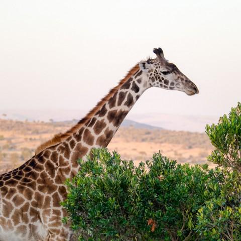 Safari in Kenya: Masai Giraffe, Maasai Mara