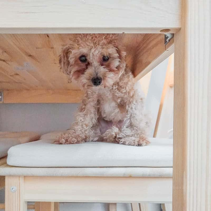 Seoul Airbnb cute toy poodle