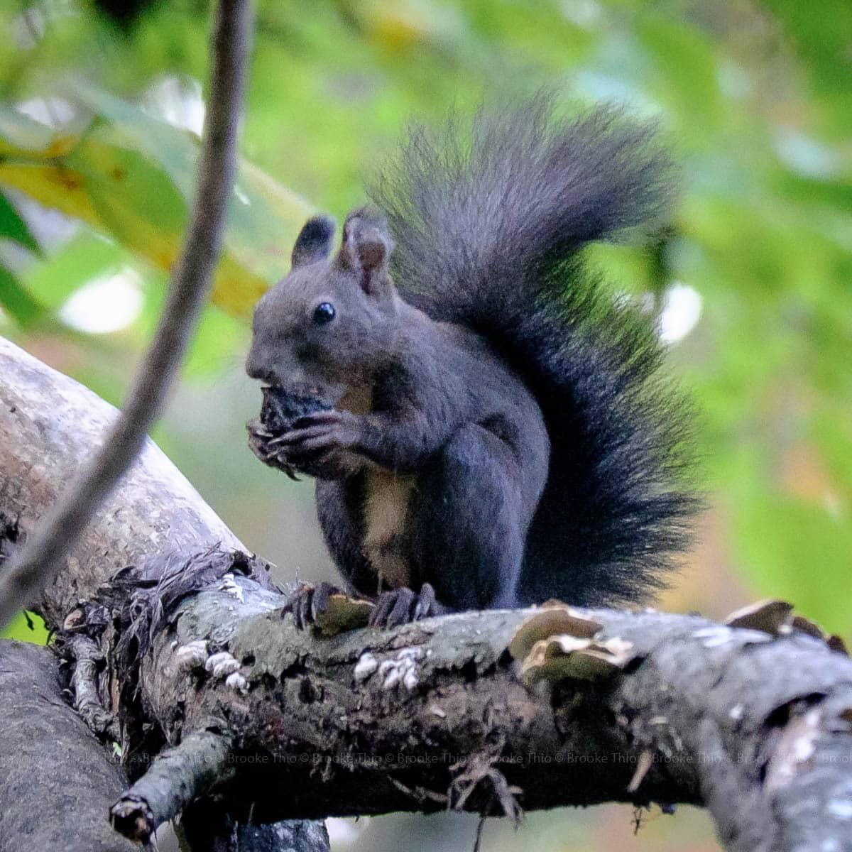 Grey Squirrel, Seoraksan