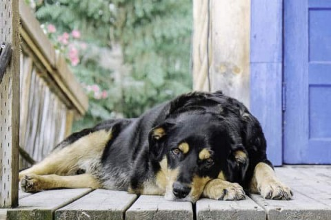 Handsome dog Diesel at Lone Pine Ranch Bed & Breakfast