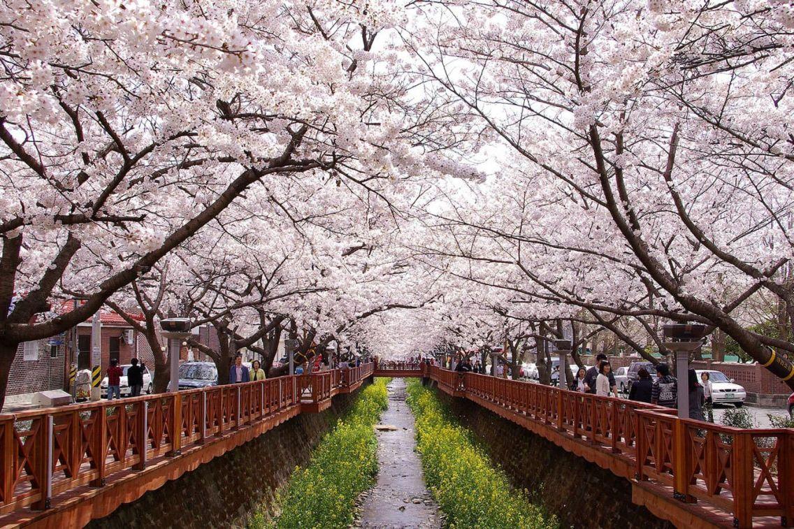Cherry blossoms in Korea: Yeojwacheon stream. Jinhae