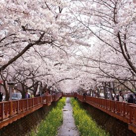 Cherry blossoms in Korea: Yeojwacheon stream. Jinhae