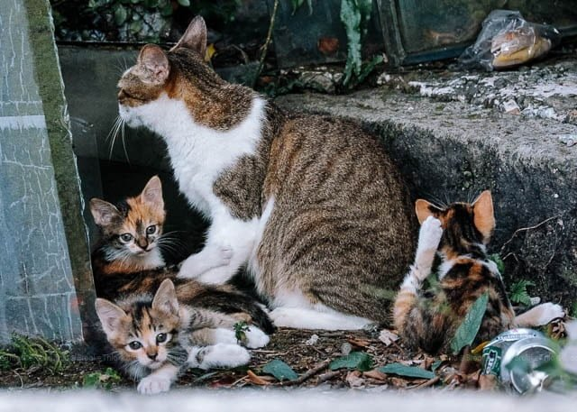 Cat with kittens, Jiufen, Taiwan