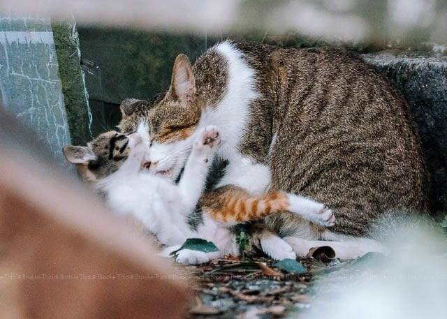 Jiufen, Taiwan. Cat licking kitten
