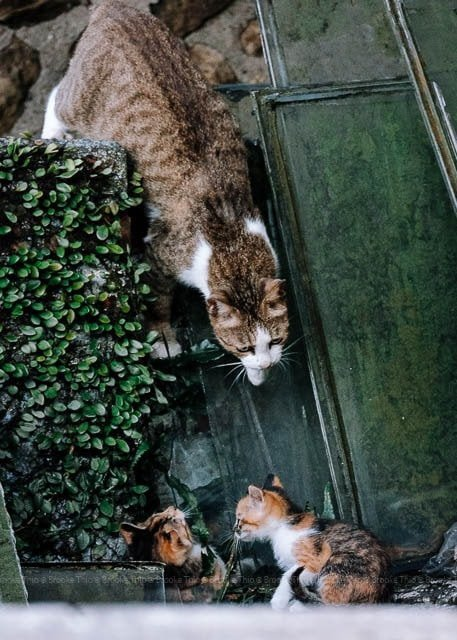 Jiufen Taiwan. Mama cat finding kittens