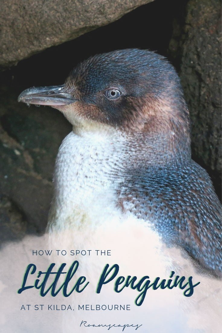 Pin it: How to spot the little penguins at St Kilda, Melbourne